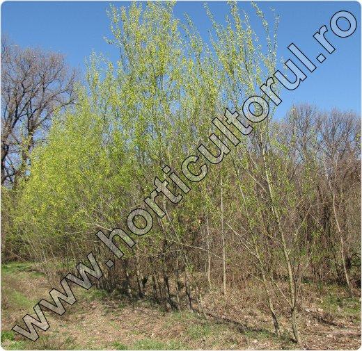 Fig. 1 Salcie alba (Salix alba)