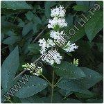 Lemn cainesc ligustrum vulgare gard viu inmultire - Plantarea lemnului cainesc ...