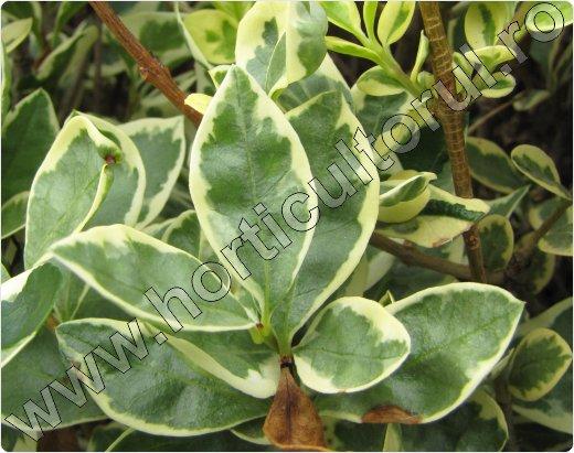 lemn-cainesc-ligustrum-ovalifolium-variegatum
