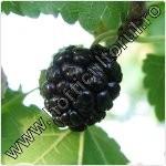 Dud negru-Morus nigra