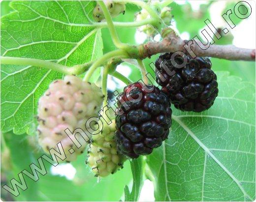 Dudul negru-Morus nigra