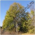 Frasin comun-Fraxinus excelsior