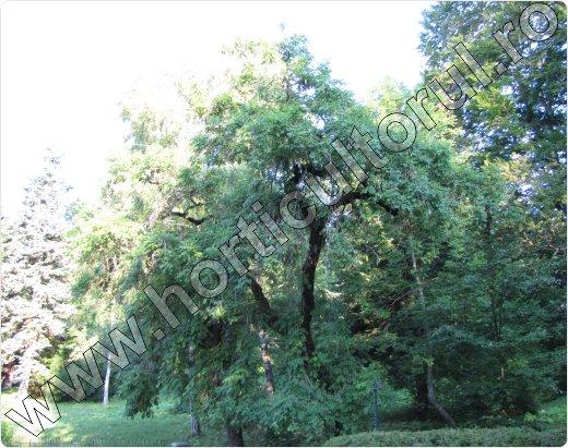 Frasin pendul-Fraxinus excelsior-Pendula