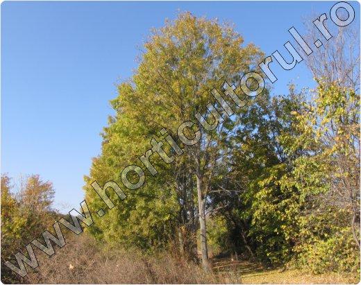 Frasinul arbore-Fraxinus excelsior