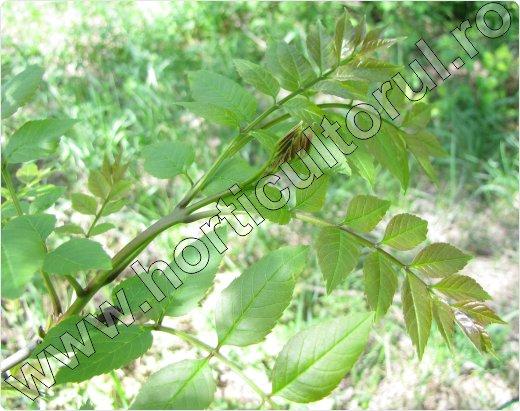 frasin copac-arbore-ornamental