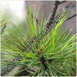 Zambru-Pinus cembra
