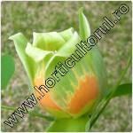 arbore-lalea-liriodendron-tulipifera