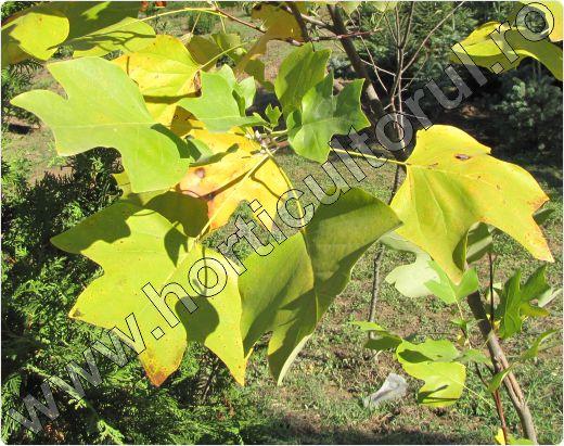 arbore-lalea-fruct