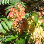 cenuser-ailanthus altissima-11