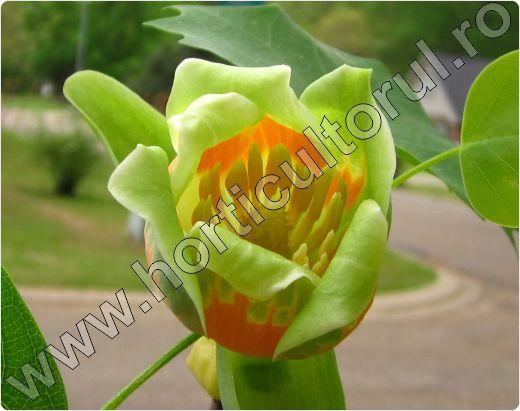 liriodendron-tulipifera