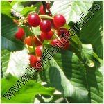 Cires pasaresc-Cires paduret-Prunus avium