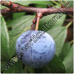 Porumbar-Prunus spinosa