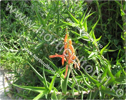 Aloe arborescens-in