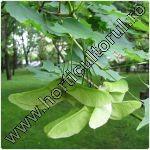 Artar-Paltin de camp-Acer platanoides_1