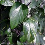 Filodendron-Philodendron