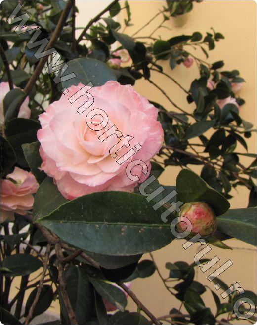 Camellia-Nuccio's Pearl