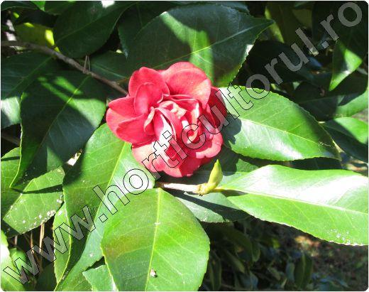 Camellia-texas