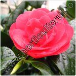 Floarea Camelia-Camellia-ingrijire