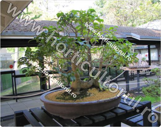 Fig. 14 Floarea Camelia (Camellia japonica ), bonsai