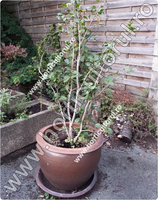 Fig. 15 Floarea Camelia (Camellia japonica )