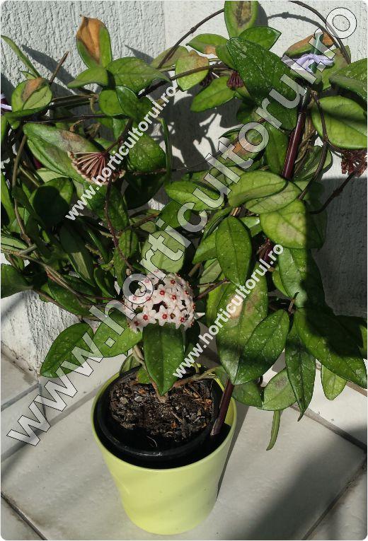 Floarea de ceara-Hoya carnosa