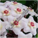 Floarea de ceara-Hoya-flori-de-apartament