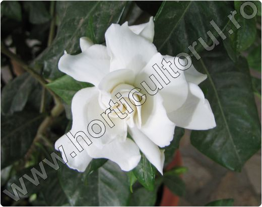 Gardenia-ingrijire