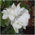 Gardenia spp