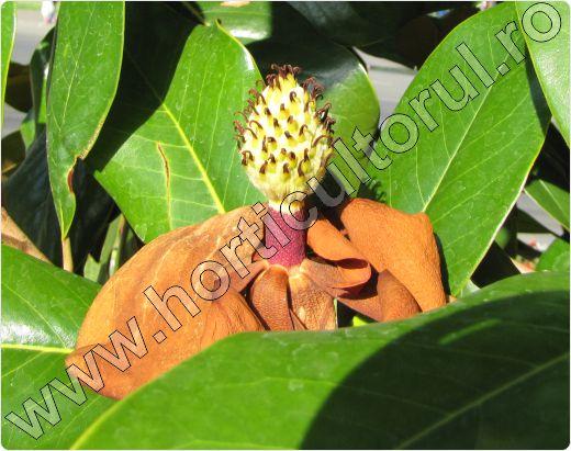 Magnolia grandiflora     Fig. 6 Magnolia grandiflora, floare trecuta