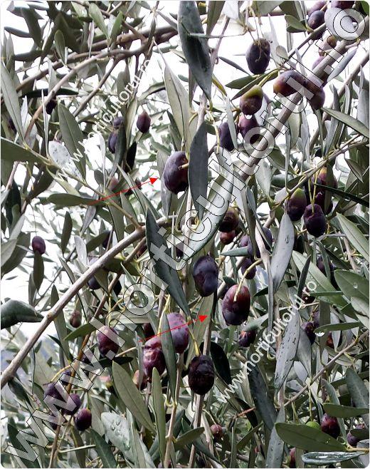 Fig. 15 Maslinul (Olea europaea)