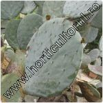 Opuntia-Limba soacrei