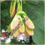 Paltin de munte-Acer pseudoplatanus
