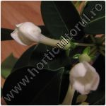 Stephanotis-floare