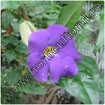 Thunbergia-planta