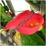 cala-Zantedeschia aethiopica-floare