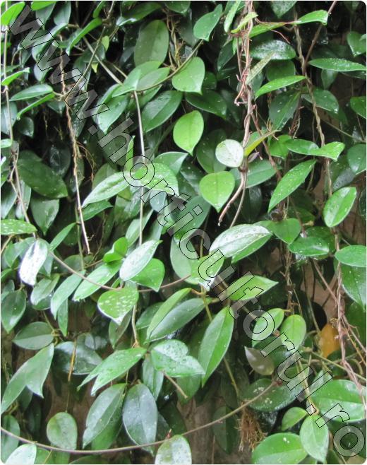 flori de ceara-hoya carnosa