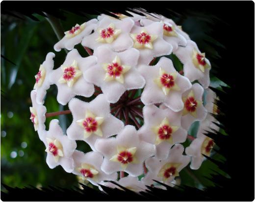 flori de ceara