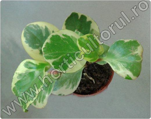 peperomia magnoliifolia variegata