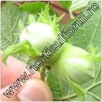 Alunul-Corylus avellana