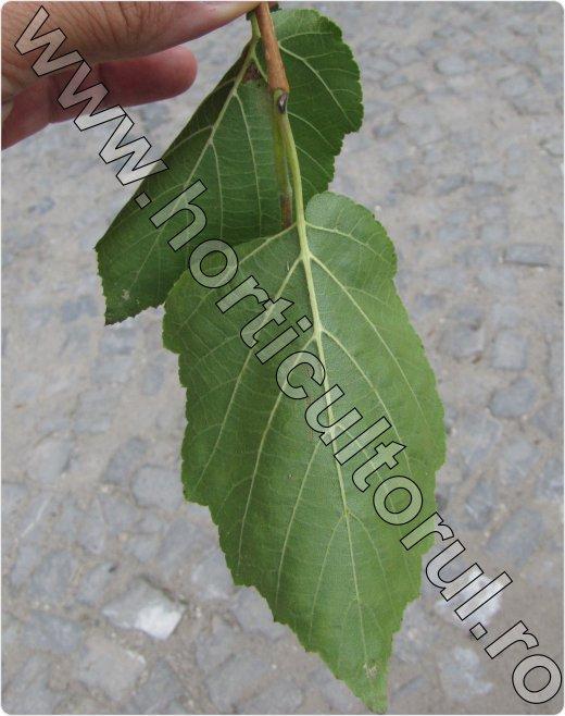 Alunul-turcesc-Corylus-colurna