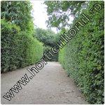 Carpenul-Carpinus betulus-copac
