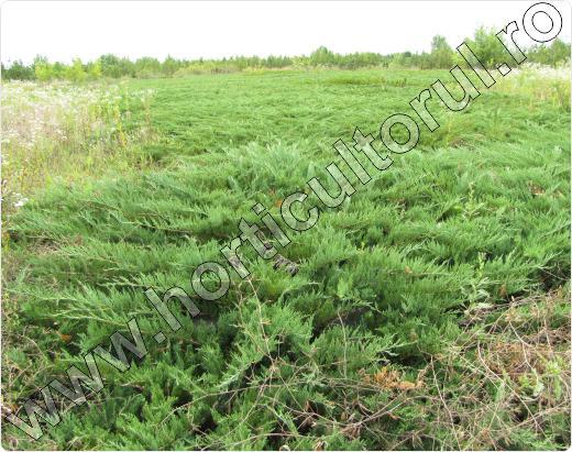 Juniperus-sabina-Szőke