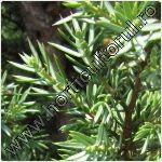 Ienupar - Juniperus communis
