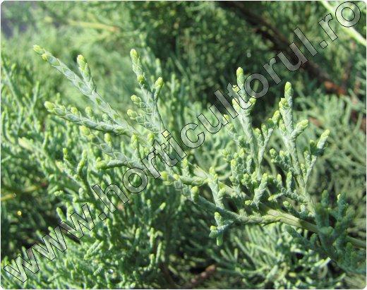 Juniperus-chinensis