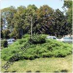 Ienupar tarator-Juniperus sabina
