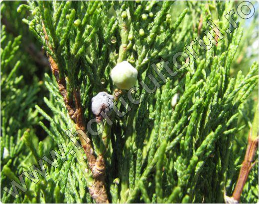 Ienupar tarator-Juniperus sabina-fructe