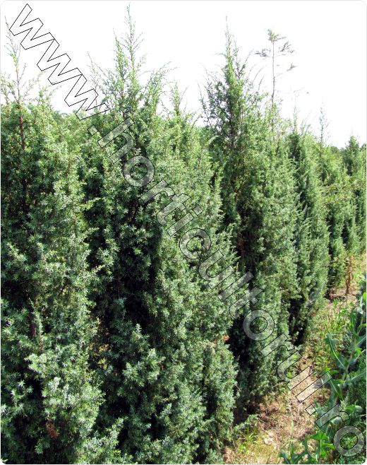 ienupar juniperus communis descriere inmultire. Black Bedroom Furniture Sets. Home Design Ideas