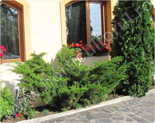 Juniperus-sabina-Cupressifolia