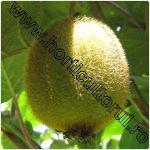 Kiwi-Actinidia deliciosa-1