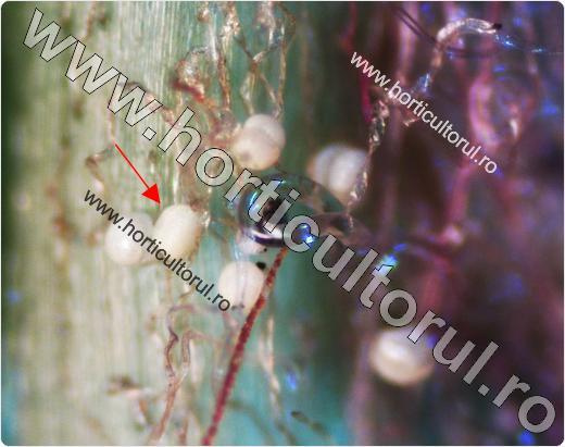Fig. 8 Acarianul galicol al vitei de vie (Eriophyes vitis),